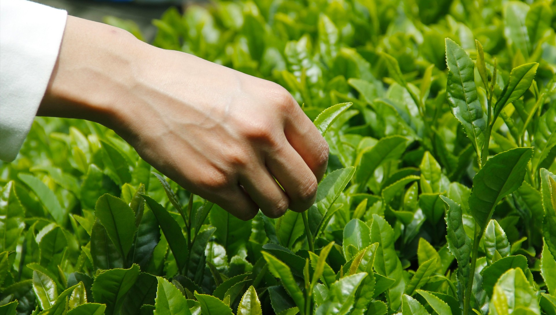 【限定コラボ】体験者限定!「さらびき茶園」での新茶を手摘み&製茶の工程を見学。高橋シェフとさらびき茶園がこの日のためにご用意した和スイーツを新茶の青々としたロケーションの中お楽しみください。